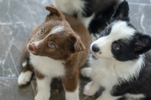 puppy-programs2